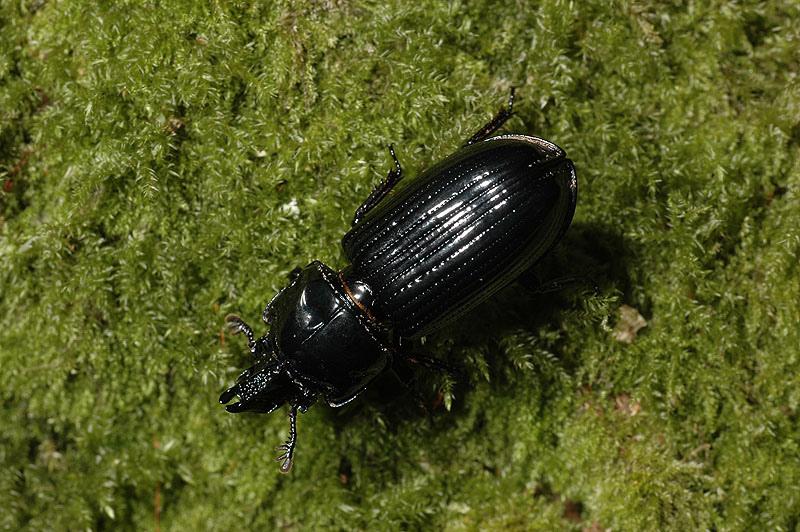 三錐黑豔蟲