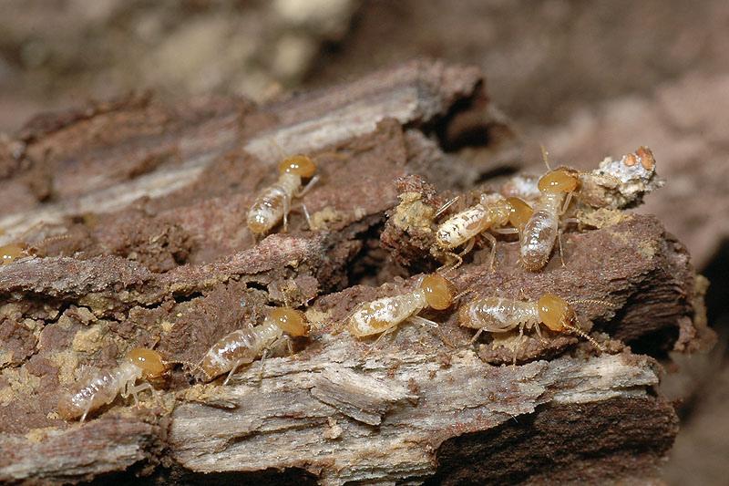 黑翅土白蟻
