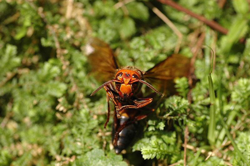 黑尾虎頭蜂