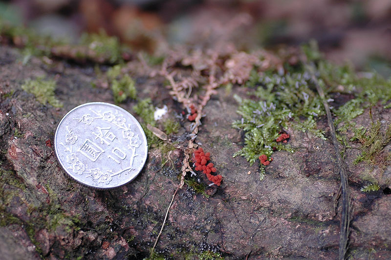 暗紅團網菌