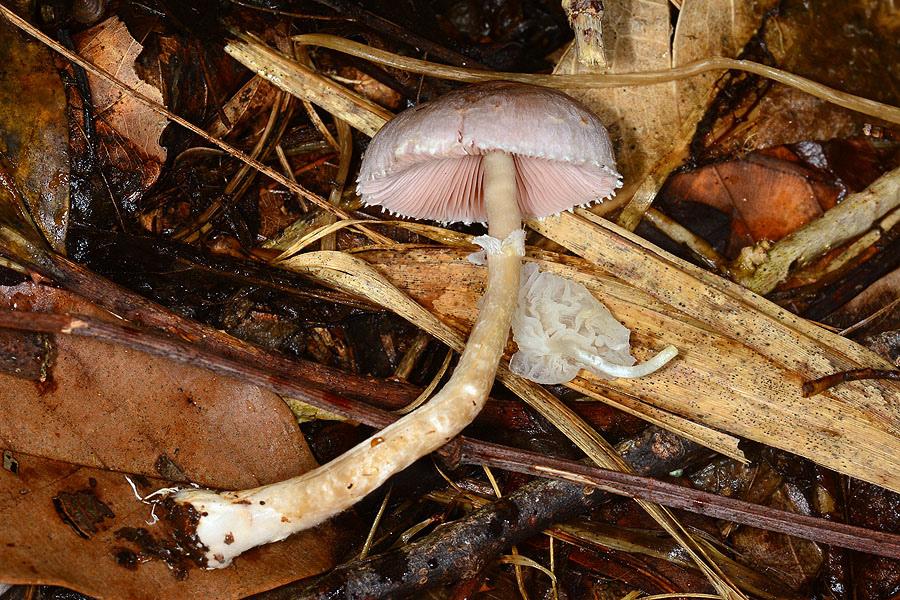 rosy wood mushroom