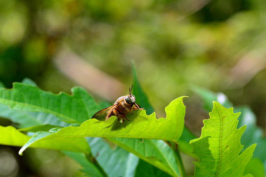 白領帶木蜂