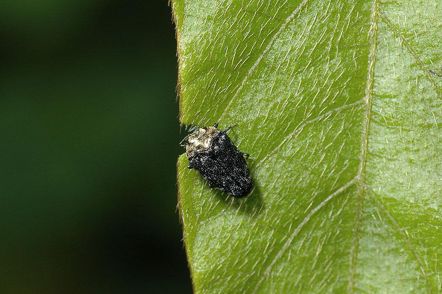 樟矮吉丁蟲