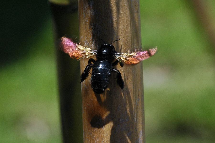 銅翼眥木蜂