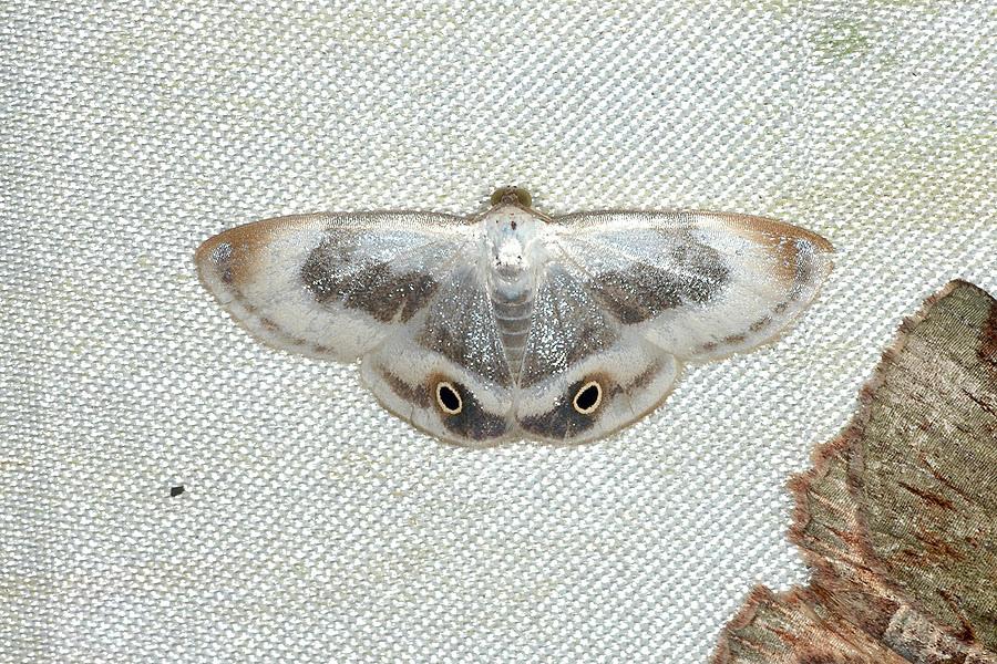 銀斑小尺蛾