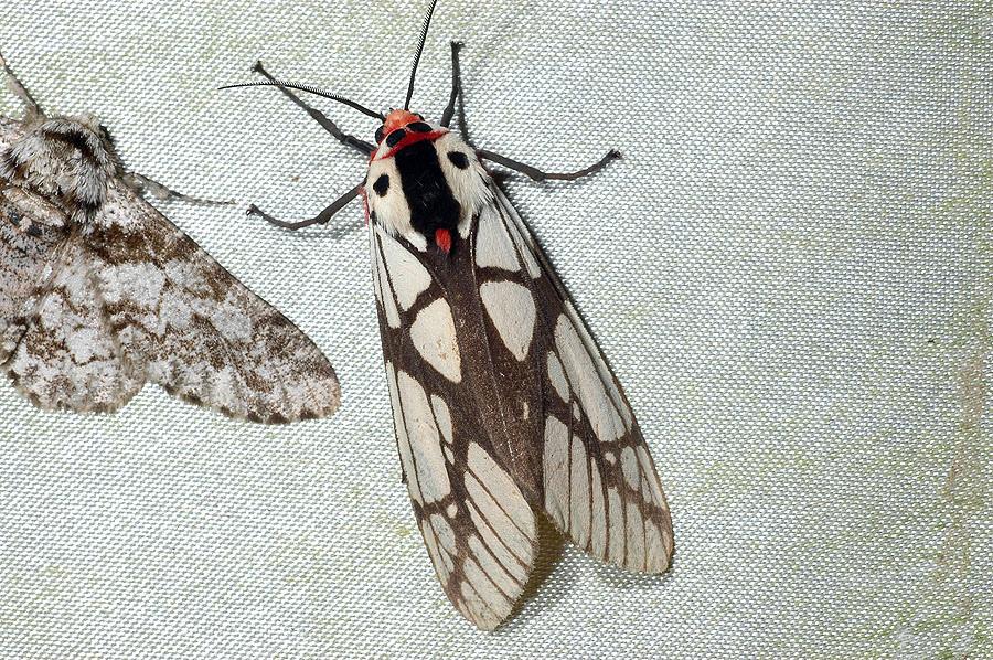 乳白斑燈蛾