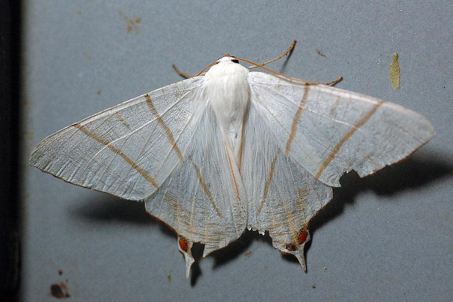 淡黃雙斑尾尺蛾