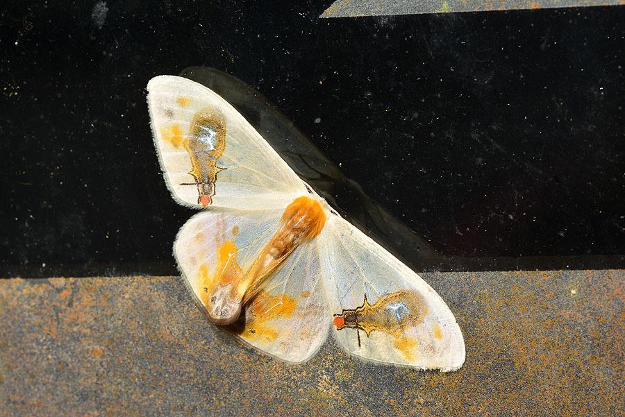刺啞鈴帶鉤蛾