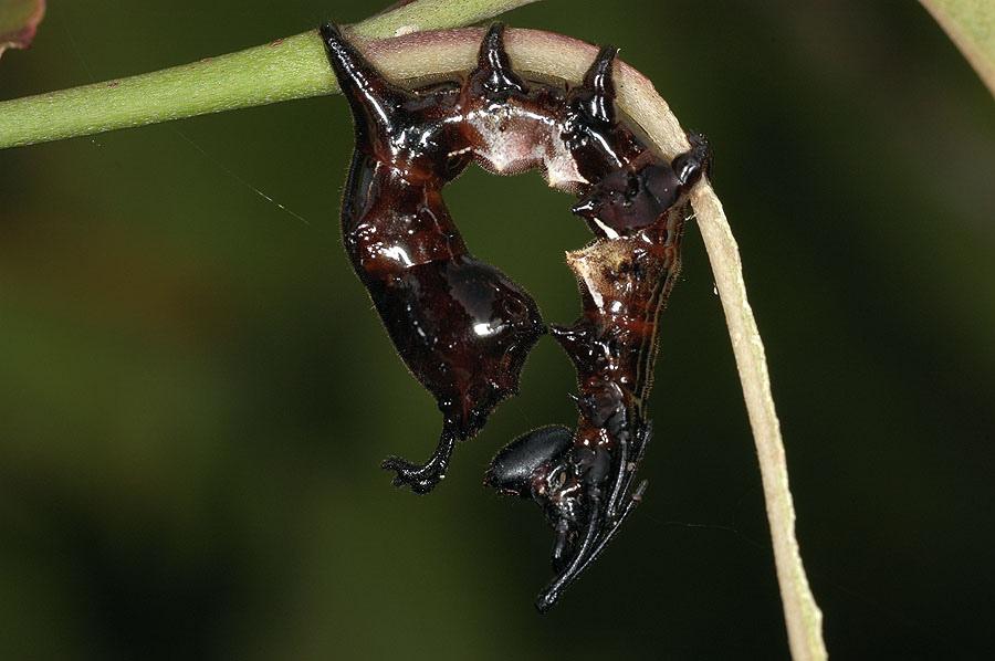 蟻舟蛾幼蟲