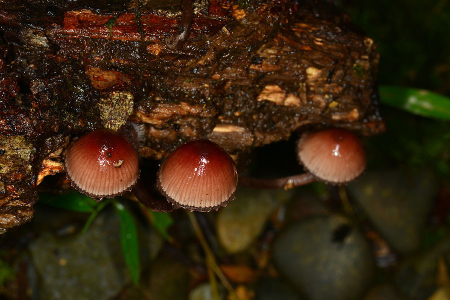 紅紫柄小菇