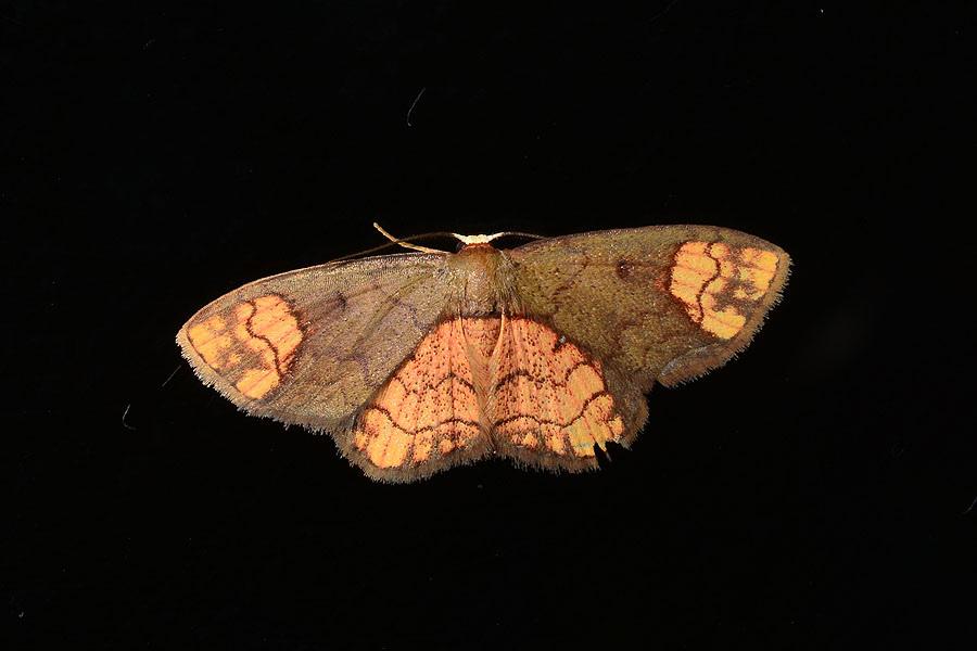 半金斑褐姬尺蛾