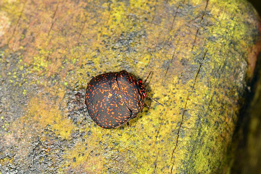 巨豆龜椿象