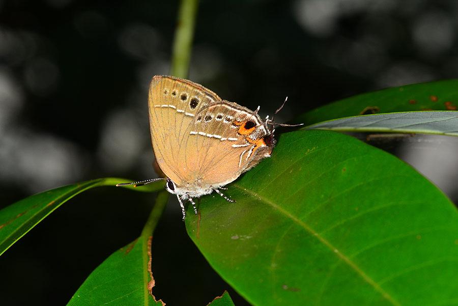 黑底小灰蝶
