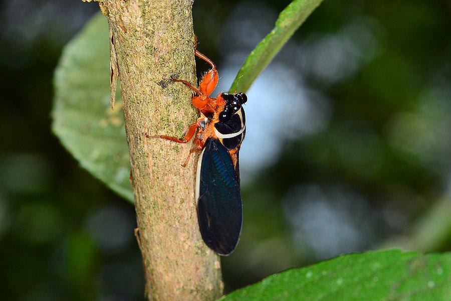 紅腳黑翅蟬