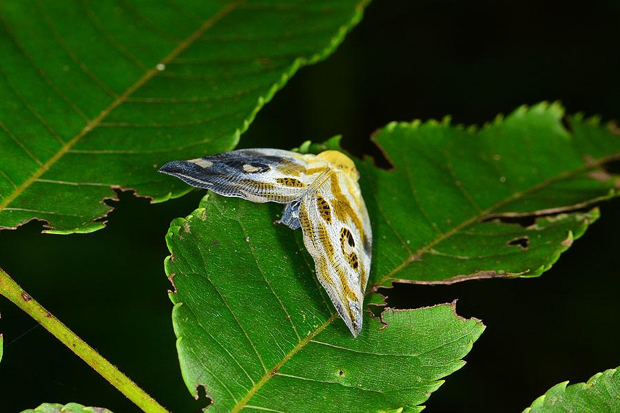 花斑廣翅蠟蟬