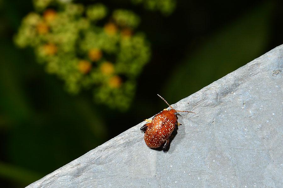 白斑大葉蚤