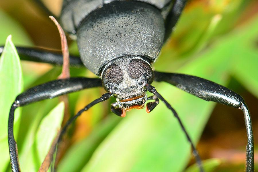 鈍光迴木蟲