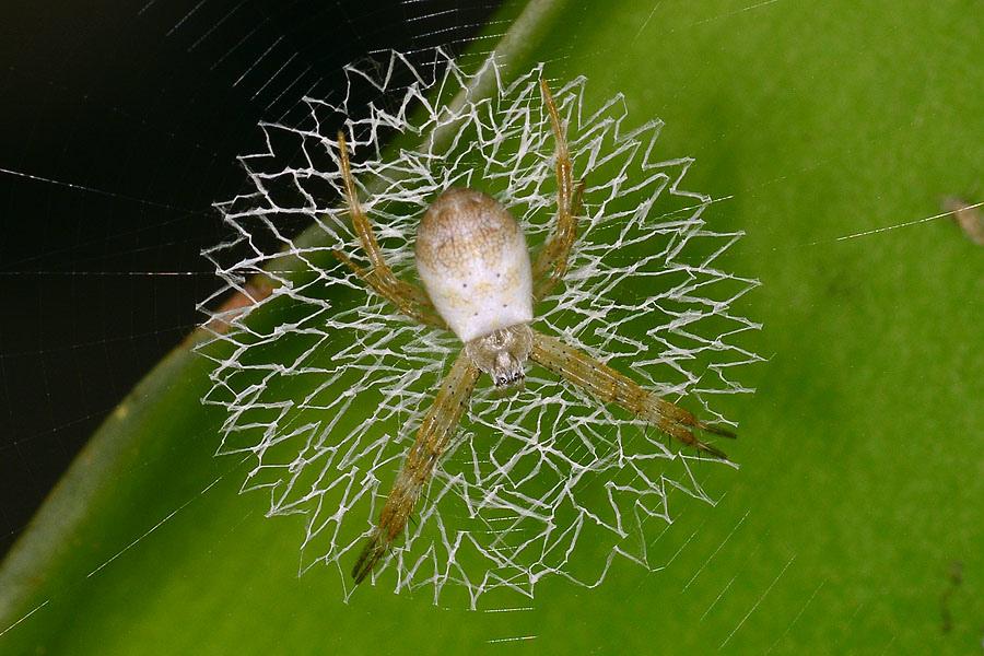 中形金蛛幼蛛