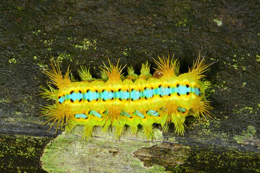 八字褐刺蛾