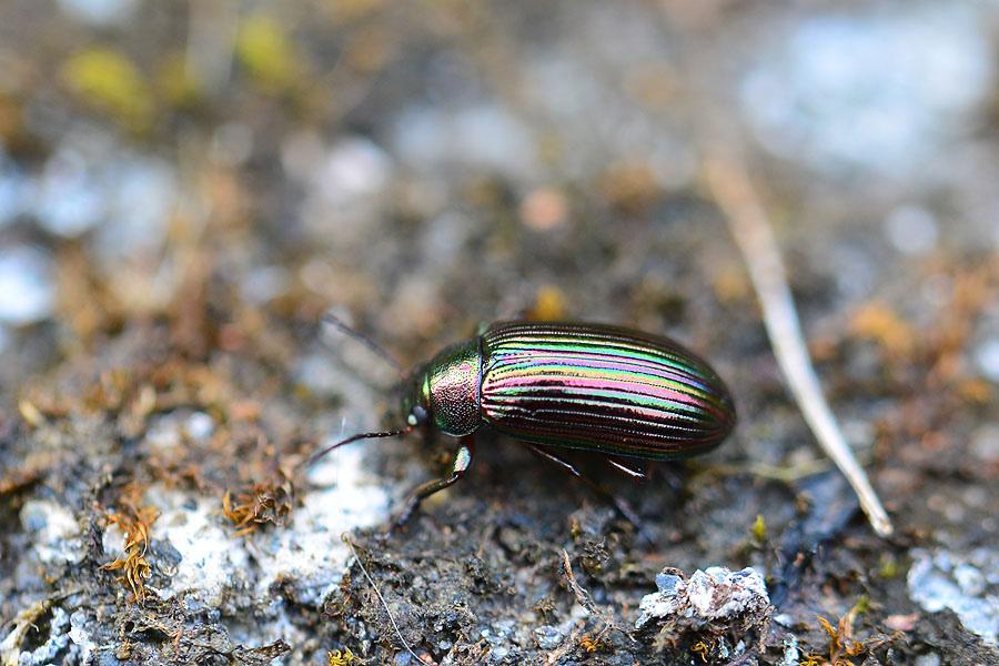 紫斑迴木蟲