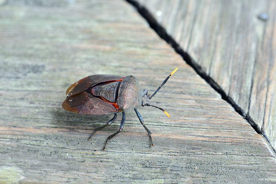 九香蟲(黃角椿象)