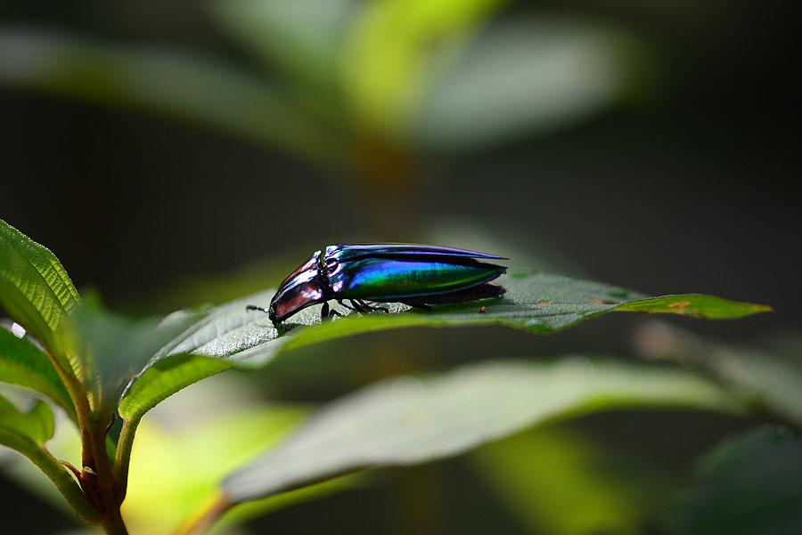 虹彩叩頭蟲