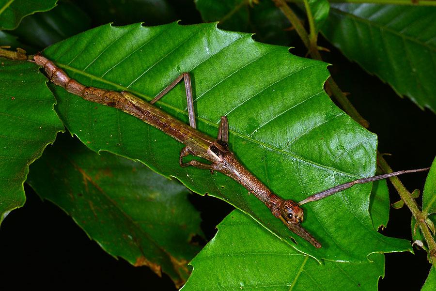 擬瓦腹華竹節蟲