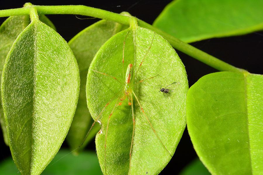 綠鱗長腳蛛