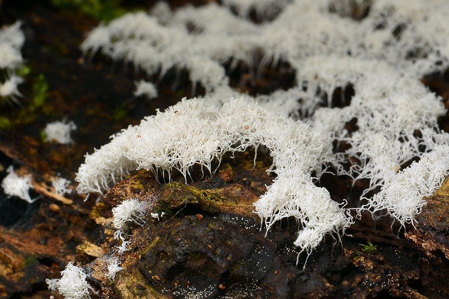 分枝鵝絨黏菌