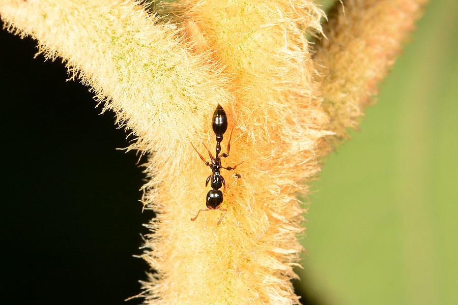 長腹擬家蟻