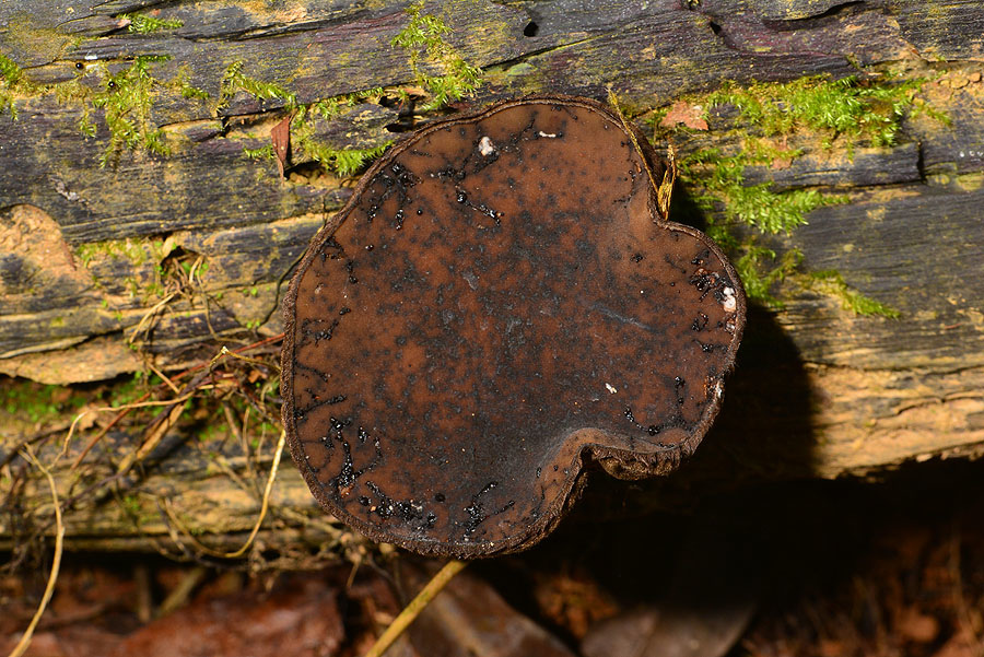 瘦孢長毛飾孢盤菌
