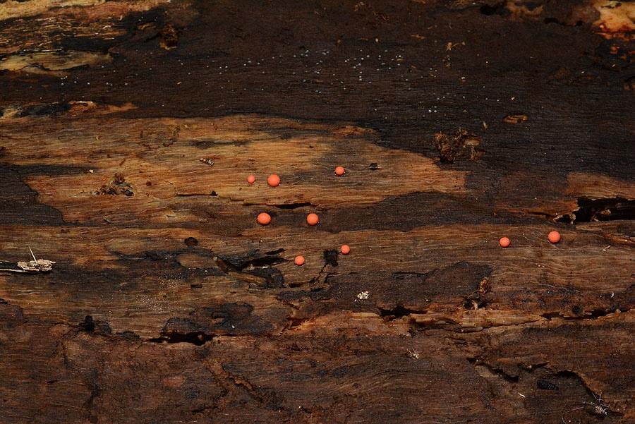 小粉瘤黏菌
