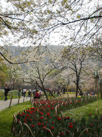 櫻花與鬱金香