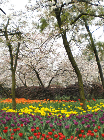 鬱金香和櫻花