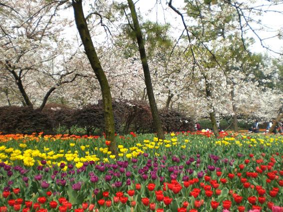 櫻花和鬱金香