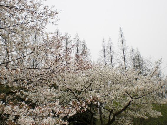 櫻花與水杉