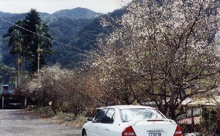 車花.JPG