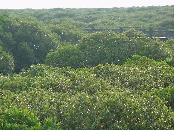 紅樹林一景