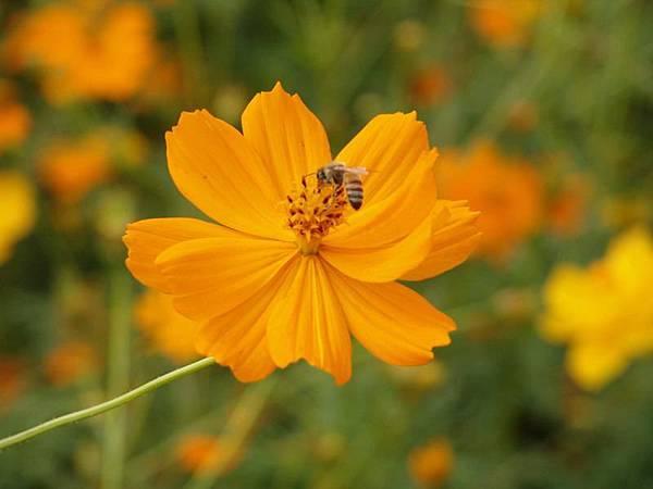 超經典!蜜蜂採蜜特寫!