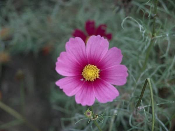 這朵花的顏色真的很漂亮