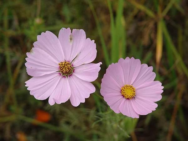 兩朵紫色小花兒特寫