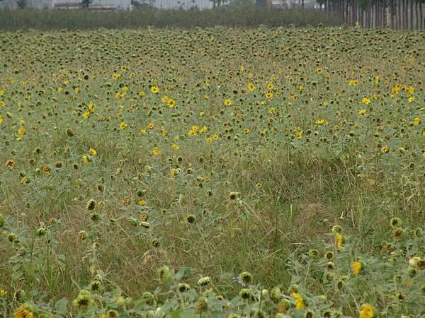 向日葵的花期已經過了 Q_Q