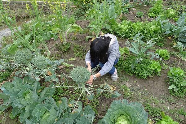 摘菜側拍3