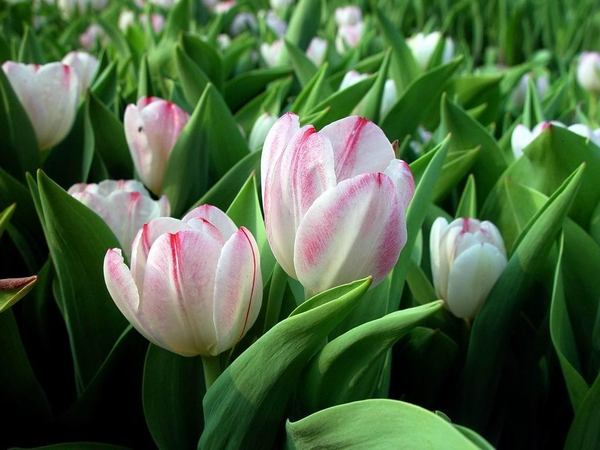 Red_and_White_Tulips.jpg