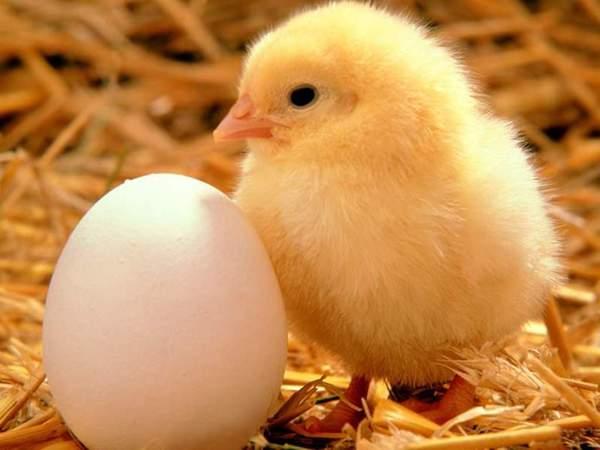 little chicken.jpg