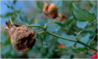 玫瑰蟲害.jpg