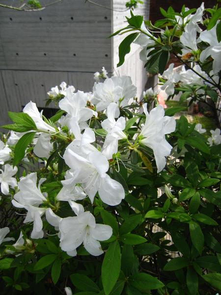 杜鵑花開得好漂亮