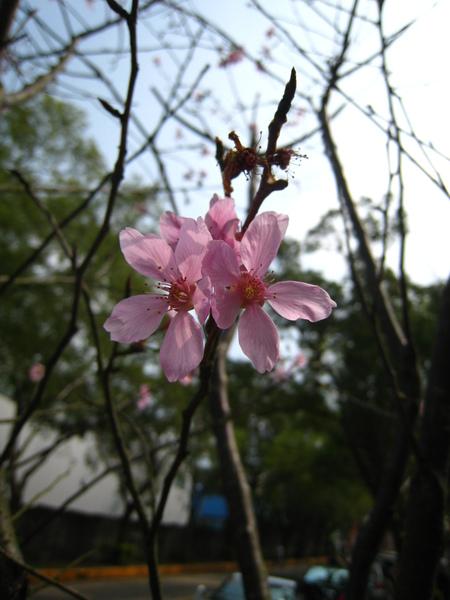 苗栗工業區裡路旁都開著櫻花