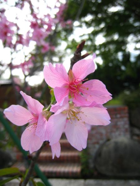 雲莊裡的停車場也開滿了櫻花