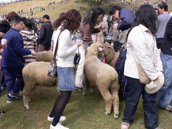 爭食中的綿羊群
